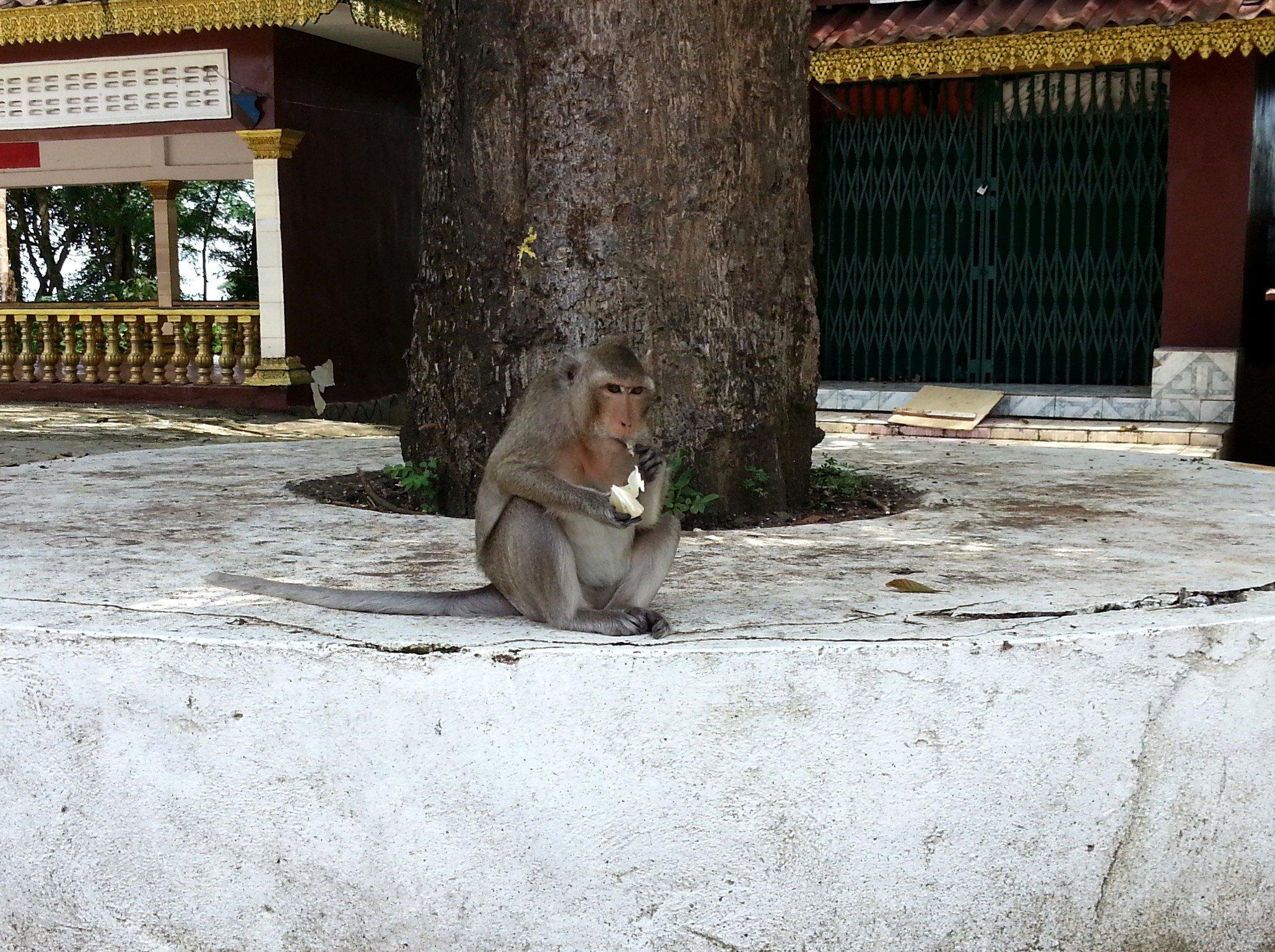 Macaque monkey at Wat Leu